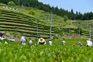 ますぶち茶園 茶摘み風景
