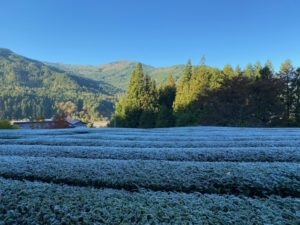 茶畑は霜で真っ白