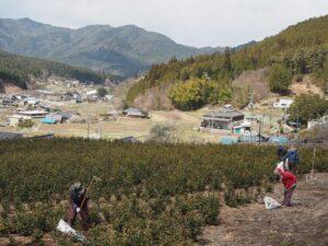幼木園の補植作業