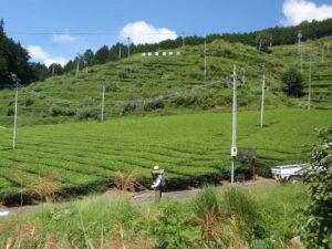 秋の茶畑作業